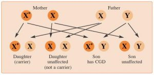 How X-linked CGD is inherited